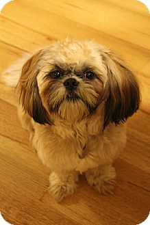 Shih Tzu Mix Dog for adoption in Hagerstown, Maryland - Jake