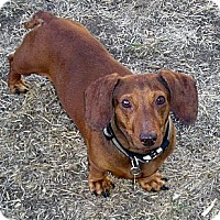 Adopt A Pet :: Romeo - San Jose, CA