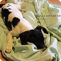 Adopt A Pet :: Reese - Fountain, CO