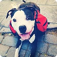 Adopt A Pet :: Archer - San Ramon, CA