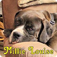 Adopt A Pet :: Millie Louise - Dayton, OH
