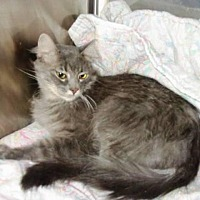 Domestic Longhair Cat for adoption in Midvale, Utah - Joy
