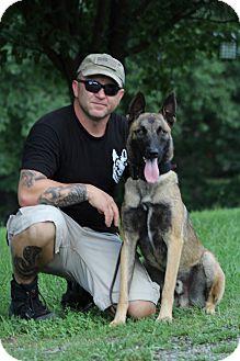 Belgian Malinois Dog for adoption in Wattertown, Massachusetts - Jago