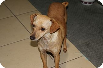Terrier (Unknown Type, Small) Mix Dog for adoption in Pleasanton, California - Sanji