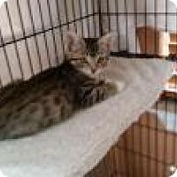Egyptian Mau Cat for adoption in Medford, New Jersey - Julia  (Sonny's kittens)
