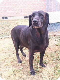 Labrador Retriever Mix Dog for adoption in Watauga, Texas - Nanna