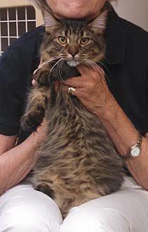 Domestic Mediumhair Cat for adoption in St. Louis, Missouri - Charlie