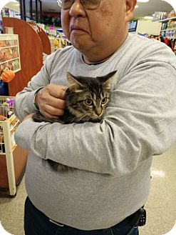 Domestic Mediumhair Kitten for adoption in Avon, Ohio - Ava