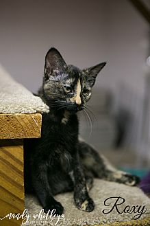 Domestic Shorthair Cat for adoption in Columbia, Tennessee - Roxy