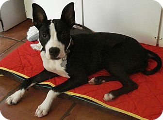 Boston Terrier/Great Dane Mix Puppy for adoption in Seattle, Washington - A - SOPHIE