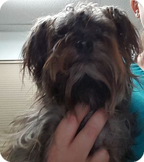 Yorkie, Yorkshire Terrier Mix Dog for adoption in Brownsville, Texas - Beyonce