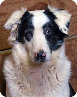 Australian Shepherd Mix Dog for adoption in Kittery, Maine - Sheldon