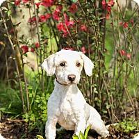 Adopt A Pet :: Peaches - Auburn, CA