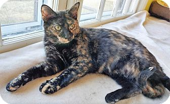 Domestic Shorthair Kitten for adoption in Fairfax, Virginia - Laramie
