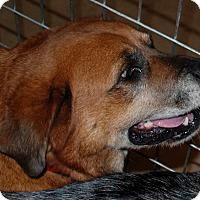 Adopt A Pet :: Honey - Salem, WV