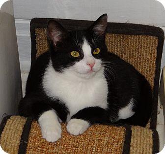 Domestic Shorthair Kitten for adoption in Speonk, New York - Dallas
