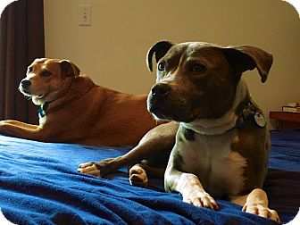 American Staffordshire Terrier/American Pit Bull Terrier Mix Dog for adoption in Los Angeles, California - Hope