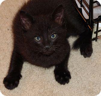 Domestic Shorthair Kitten for adoption in Lighthouse Point, Florida - Venus