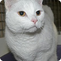 Domestic Shorthair Cat for adoption in East Smithfield, Pennsylvania - Snowflake