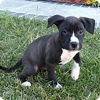 Adopt A Pet :: Rosie - La Habra Heights, CA