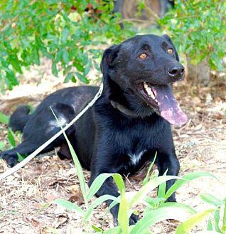 Schnauzer (Standard)/Labrador Retriever Mix Dog for adoption in Danbury, Connecticut - Chaz