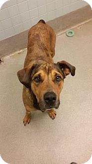 Shepherd (Unknown Type)/Rottweiler Mix Dog for adoption in Columbus, Georgia - Ryder 8721
