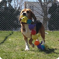 Adopt A Pet :: Amy - Yardley, PA
