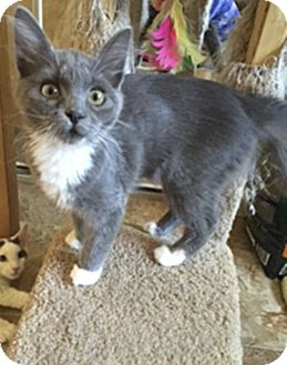 Domestic Mediumhair Kitten for adoption in El Dorado Hills, California - Roxy