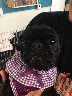 Pug Dog for adoption in Gardena, California - Emma