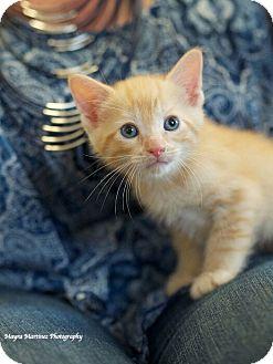 Domestic Shorthair Kitten for adoption in Chattanooga, Tennessee - Barrett