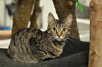 Domestic Shorthair Cat for adoption in Atlanta, Georgia - Evina 13862