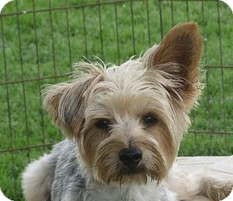 Yorkie, Yorkshire Terrier Dog for adoption in Allentown, Pennsylvania - Ralph