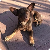 Adopt A Pet :: Maverick - Surprise, AZ