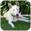 Photo 1 - Australian Shepherd Mix Puppy for adoption in Mesa, Arizona - Mark