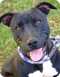 American Pit Bull Terrier Mix Dog for adoption in Red Bluff, California - Kringle