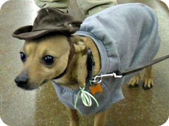 Chihuahua/Miniature Pinscher Mix Dog for adoption in Grand Rapids, Michigan - Eddie