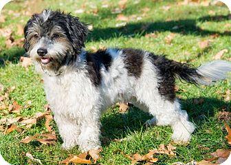Tibetan Terrier Mix Dog for adoption in Brooklyn, New York - Gregarious Guru