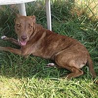 Adopt A Pet :: Ginger - Bristol, TN