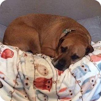 Rhodesian Ridgeback/Labrador Retriever Mix Dog for adoption in Palm City, Florida - Maddie