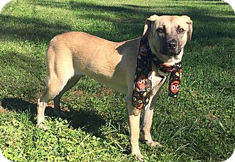 Shepherd (Unknown Type)/Labrador Retriever Mix Dog for adoption in Lexington, North Carolina - CALLIE