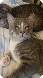 Domestic Shorthair Cat for adoption in Breinigsville, Pennsylvania - James