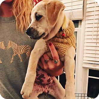 Boxer Mix Puppy for adoption in DeForest, Wisconsin - Kat
