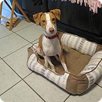 Adopt A Pet :: Dexter - Homestead, FL