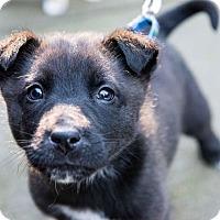 Adopt A Pet :: Stills - Pitt Meadows, BC