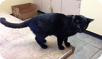 Domestic Shorthair Cat for adoption in Larned, Kansas - Elton