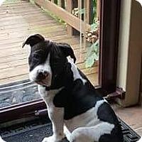 Adopt A Pet :: Abigail Sadie - Newport, KY