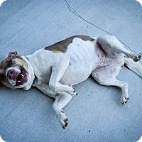 Adopt A Pet :: Bella - Prince George, VA