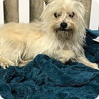 Adopt A Pet :: Charlei - Ardmore, OK
