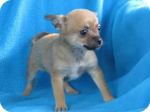 Papillon/Chihuahua Mix Puppy for adoption in Minneapolis, Minnesota - Nellie