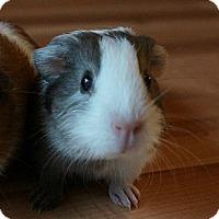 Adopt A Pet :: Toby - Brooklyn Park, MN